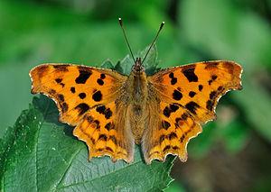Frühe Schmetterlinge
